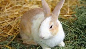 Rabbits and Fleas