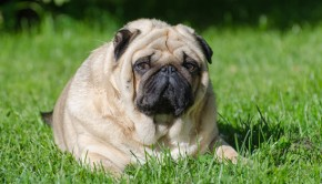 obesity in dogs causes and dangers