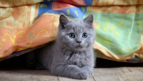 Cat looking sneaky under furniture with its grey paws crossed.