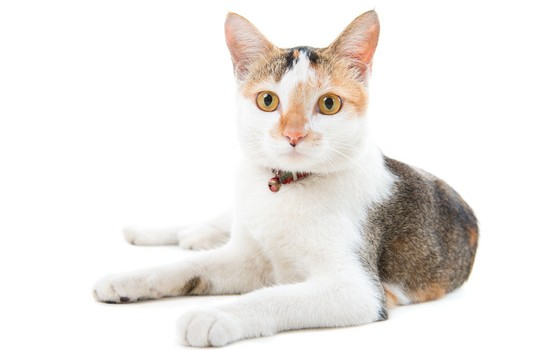 Know Your Furry Friends Asian Cats