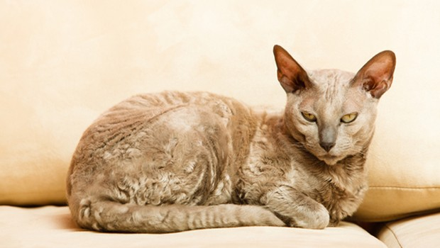 Breed Of Cat Egyptian