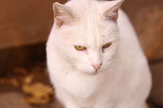 248afff5f5 Cute white cat with brigth yellow eyes