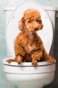 photodune-14444840-smart-brown-dog-pooping-into-toilet-bowl-xs