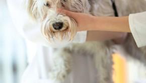 Veterinarian checking microchip implant on Maltese dog in vet clinic