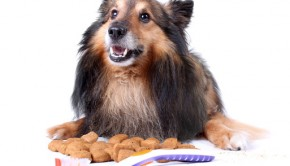 Small furry Sheltie laying with food that helps clean teeth,  a toothbrush in front for  dog dental care