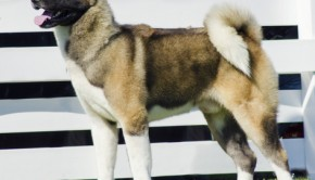 A profile view of a brown pinto Akita dog standing on the lawn, distinctive for its plush tail that curls over his back and for being courageous.