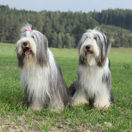 Dog Breed Series: Bearded Collie | Petfleas Blog
