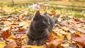 cute russian blue cat outdoor in harness
