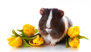 guinea pig with tulips