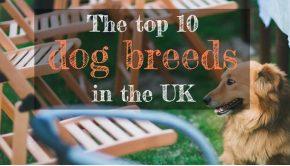Top Ten Dog Breeds UK