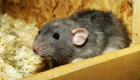 rat-3534317_1920